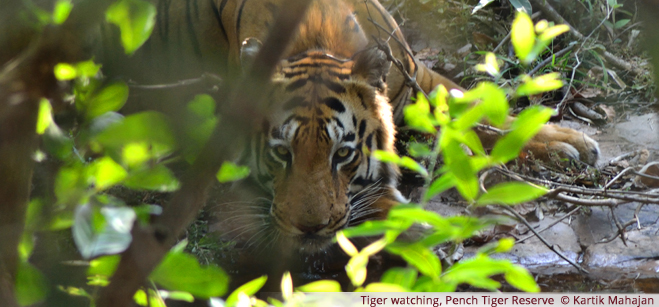 Tiger watching, Pench Tiger Reserve  - Kartik Mahajan